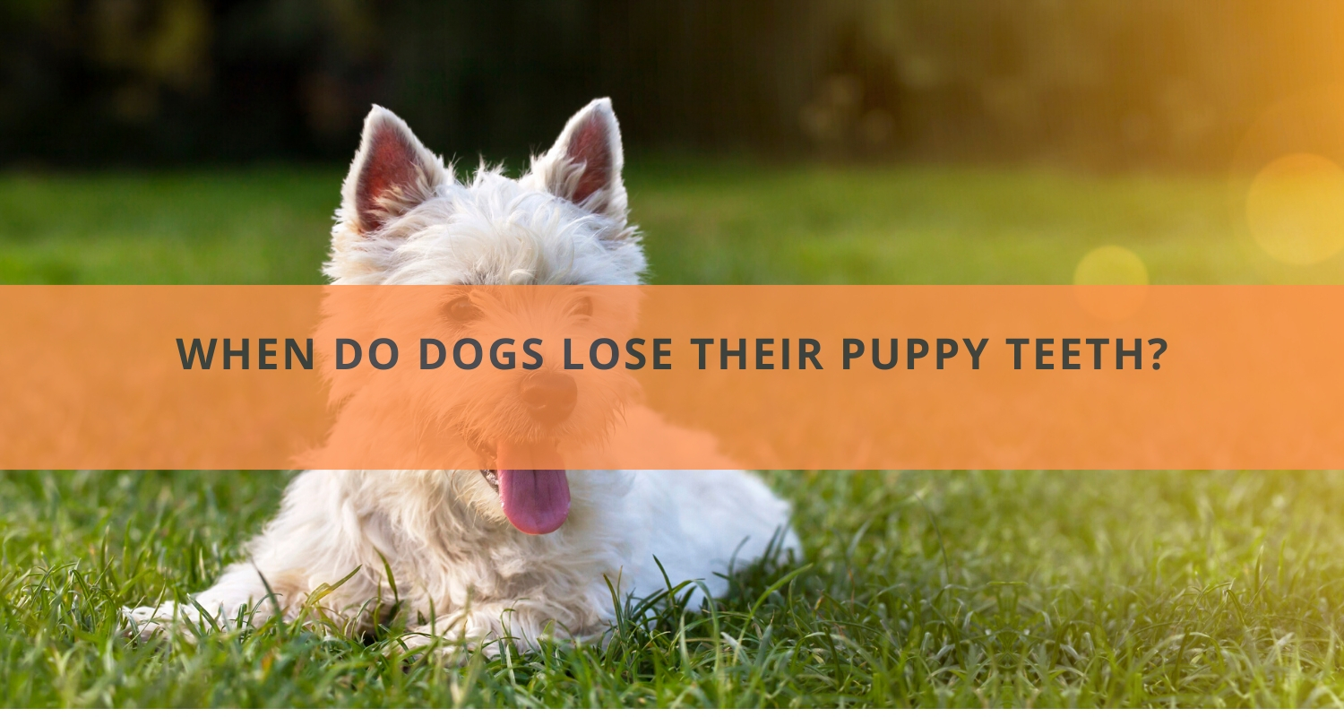 When Do Dogs Lose Their Puppy Teeth?