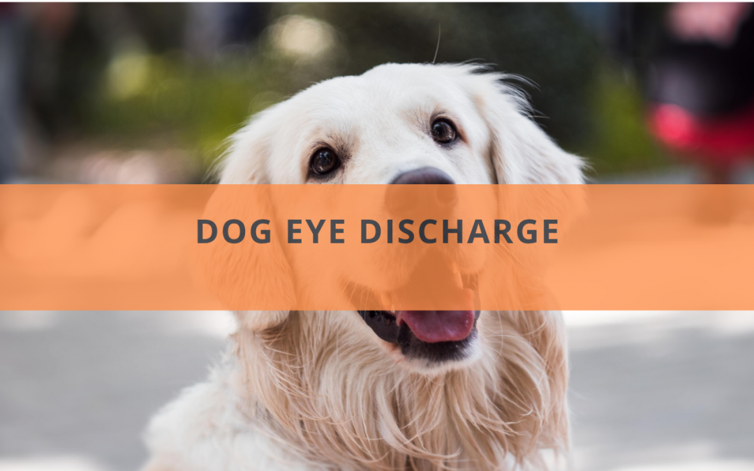 Dog Eye Discharge: What You Need to Know