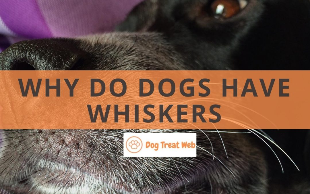 Why do dogs have whiskers? Here's why it matters!