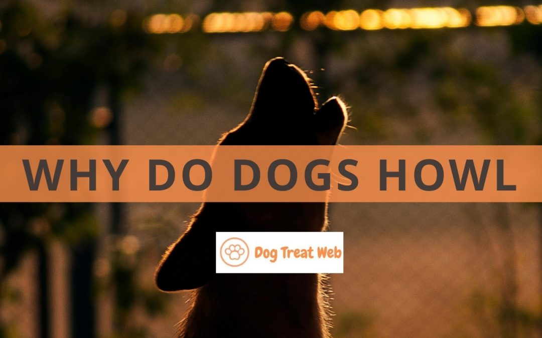 Why do dogs howl? It's Not Death Omen, Here Are the Real Reasons!